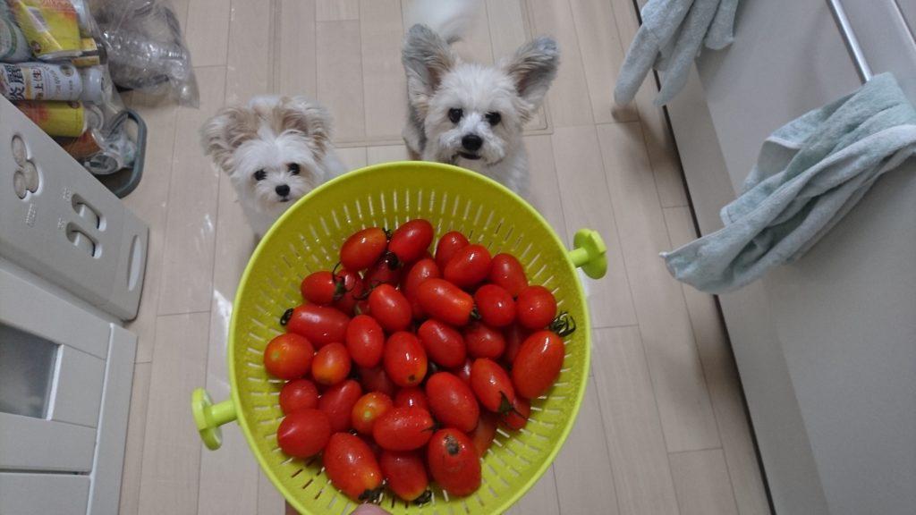 トマト 犬 ミニ 犬にトマトはアルカロイドを含むためダメという事を知りました。